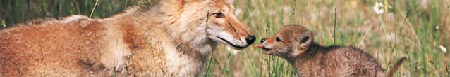 Coyotes Kissing