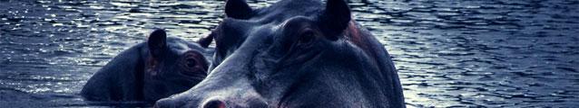 Hippopotamus (banner)